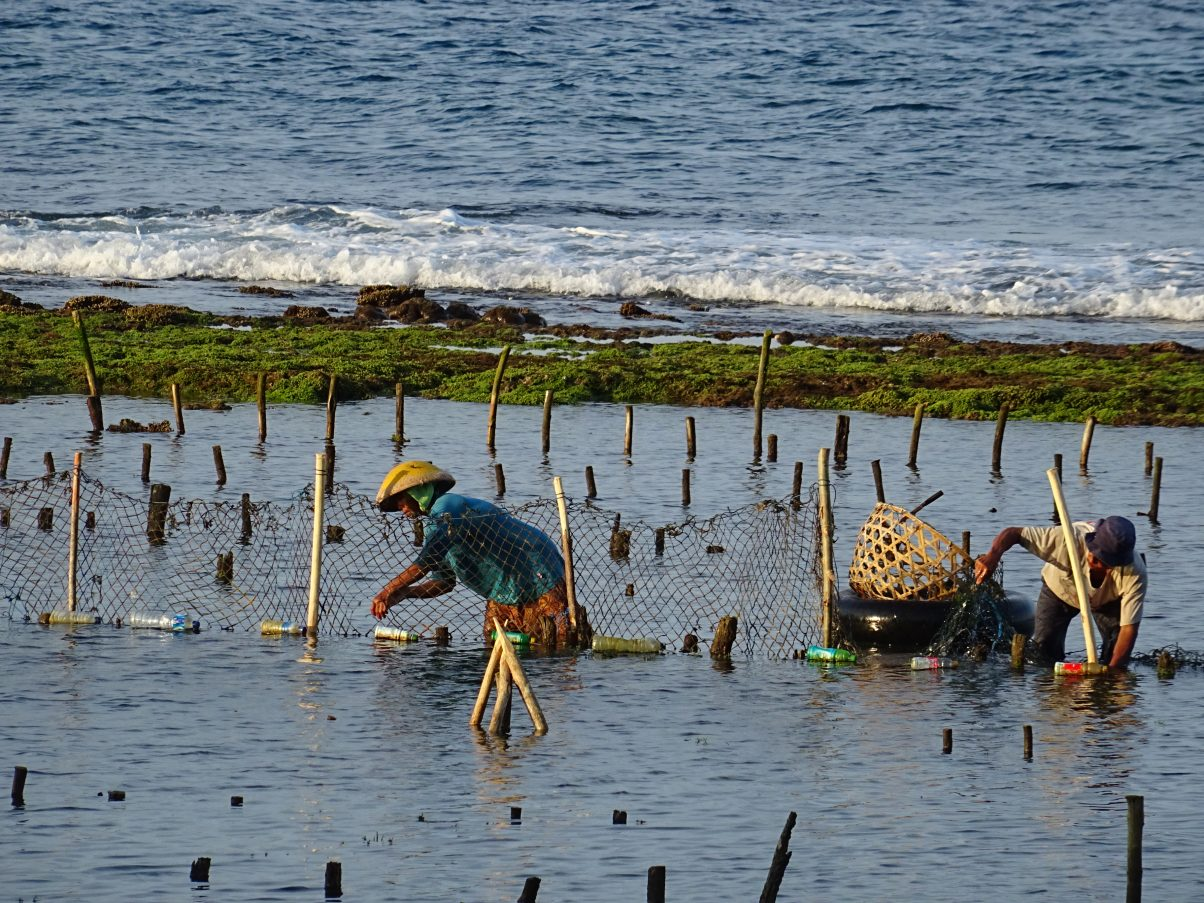 Local fishermen farming seaweed