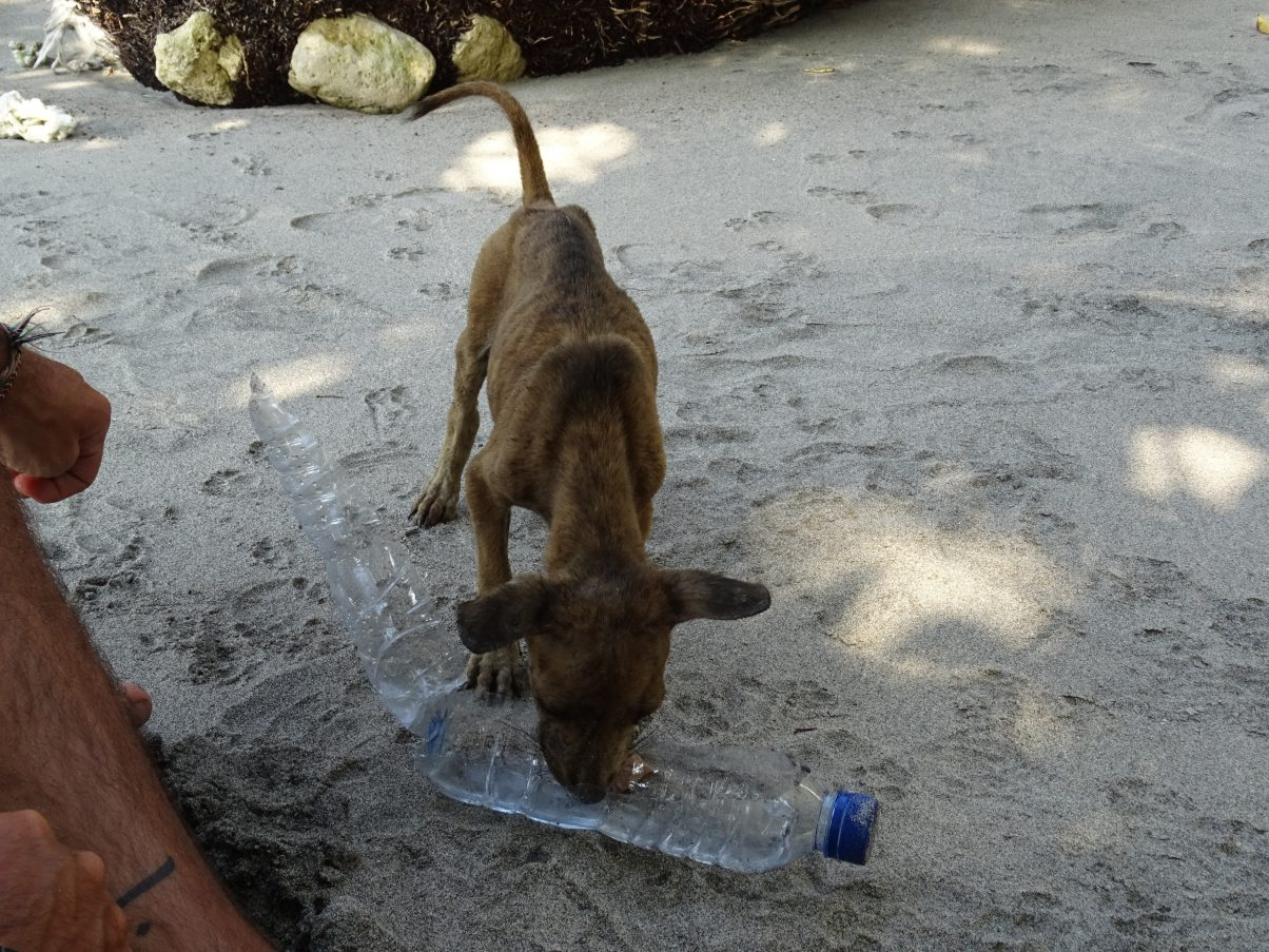 Skinny stray dog drinking from water bottle on beach