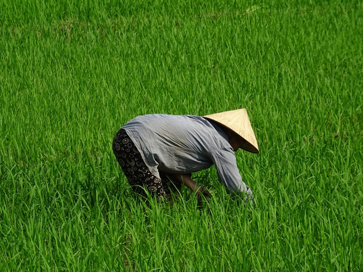A local women working in the paddy fields, Northern Vietnam