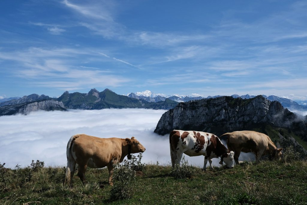 Cows in mountain scene