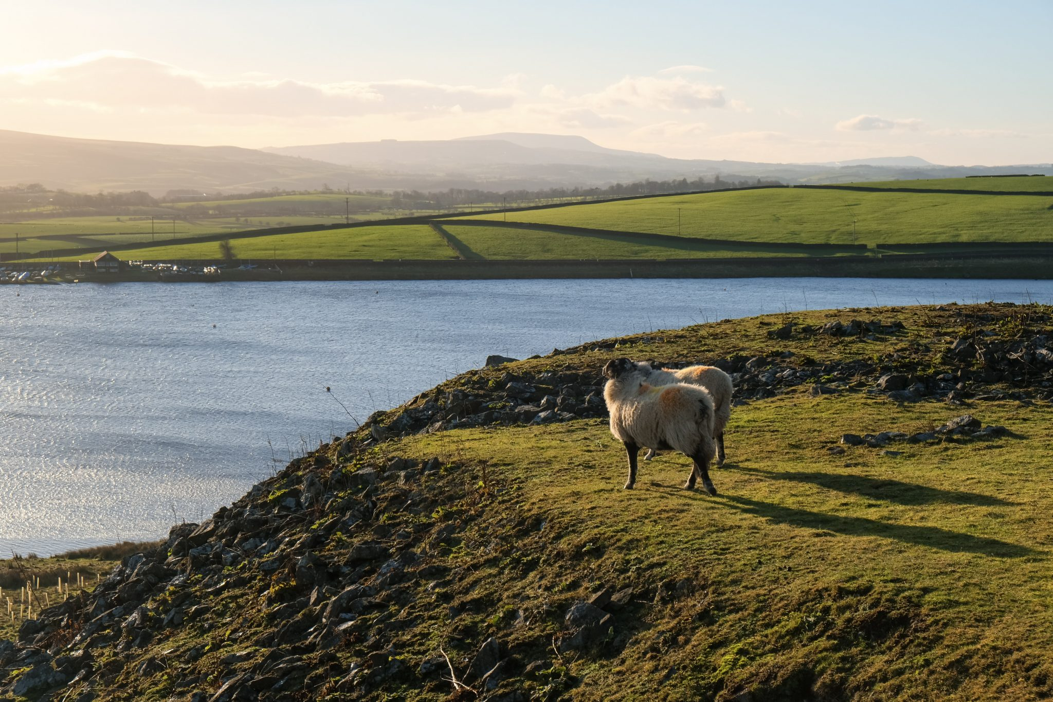 sheep in field overlooking reservoir