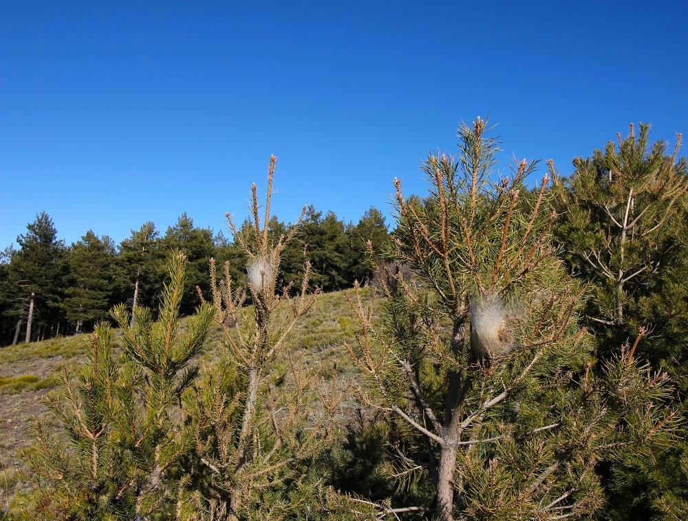 Pine Processionary Caterpillar nests-01 - Linn Haglund