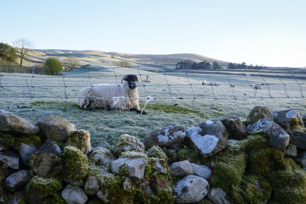 Sheep sitting in a farm
